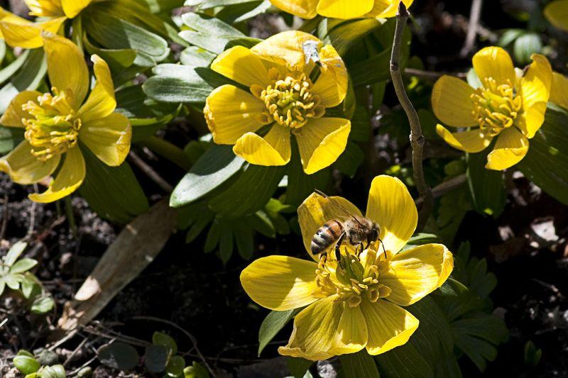 Bi på Erantis blomst